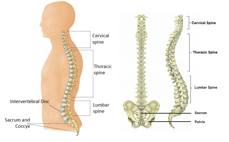 anatomy of the spine and sitting